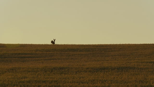 HD: Deer Running In The Field video
