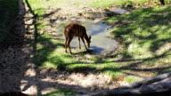 Deer, science names 'spotted deer' or 'Axis deer', drink water in pond in HD video