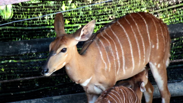 Deer, science names 'spotted deer' or 'Axis deer' mother take care and feeding her baby video