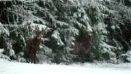 Deer video