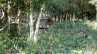 Deer walking in forest video