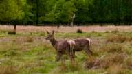 Deers at lunchtime video