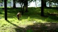 Deers at Todai-ji Temple in Nara is the capital city of Nara. video