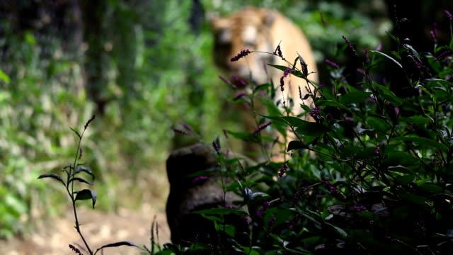Defocused Bengal Tiger walks towards camera in jungle video