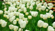 Delicate white tulips on summer field video