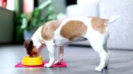 Delicious lunch time to eat for Jack Russell terrier video