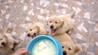 Delicious Time - Hungry Golden Retriever Puppies video