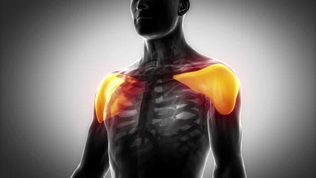 Deltoid  - muscular anatomy in black video