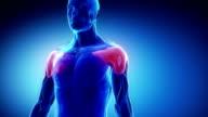 Deltoid - muscular anatomy in detail video