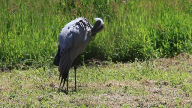 Demoiselle crane video