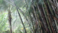 Dense tropical forest with twisted liana vines hanging from high trees of jungle rainforest. video