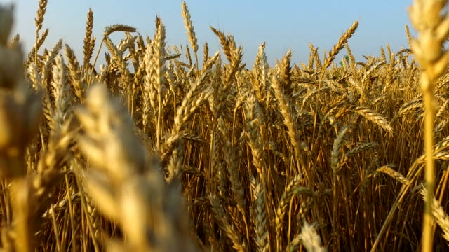 Dense wheat field. Wheat is ripe. It's time gather the harvest bread. video