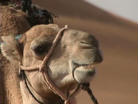 Desert Camel Close-up video