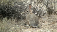 Desert Cottontail Rabbit Munching On Plant video