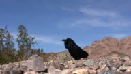 Desert Crow video