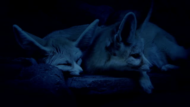 Desert Fox Couple Lying Together In Den video