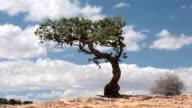 Desert mountain lone cedar tree in wind fast timelapse HD video