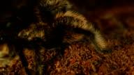 desert tarantula video