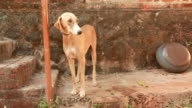 Desi Indian Hunting Dog wagging his tail in a Village video