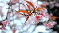Detail and close view of Sakura tree branches and flowers in spring time. video