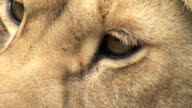 detail of a lion video