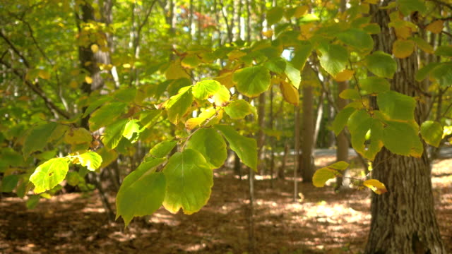 CLOSE UP: Detail of beech leaf on tree branch turning yellow in sunny autumn video