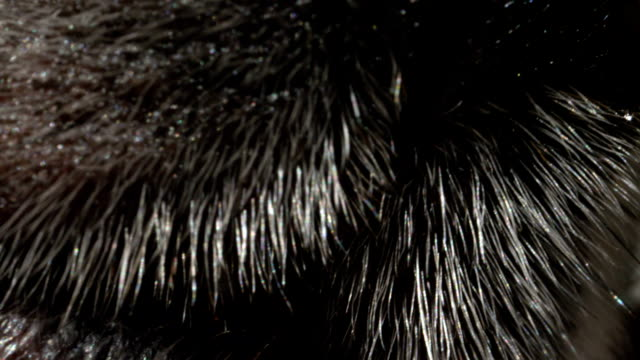 CLOSE UP MACRO DOF: Detail of dog's nose and mouth video