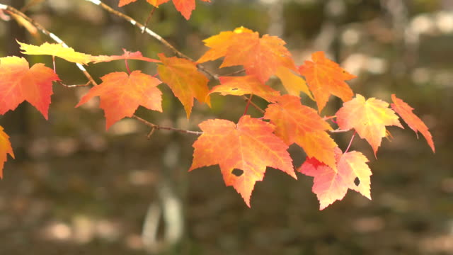 DOF: Detail of fall foliage leaves on maple tree branch turning red in autumn video