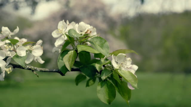 Detail of fall petals on spring theme. Apple blossom flower. video