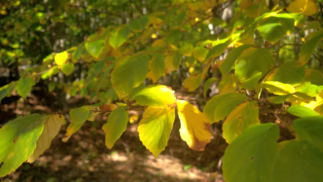 CLOSE UP: Detail of green leaf on tree branch turning yellow in sunny autumn video