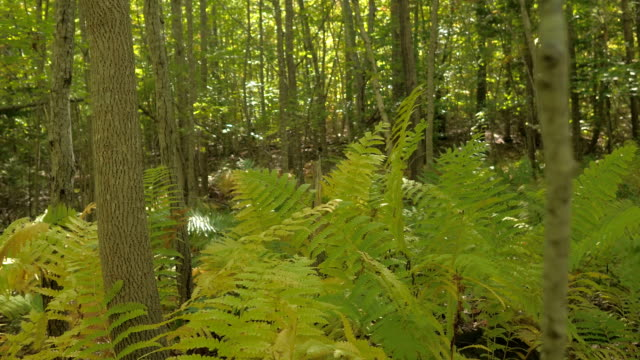 CLOSE UP: Detail of lush fern leaf blade in overgrown forest on sunny fall day video