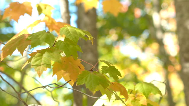 CLOSE UP: Detail of maple tree leaves on branch turning yellow in sunny autumn video