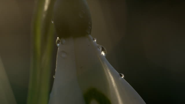 CLOSE UP: Detail of raindrops on ovary and petals of snowflake spring flower video