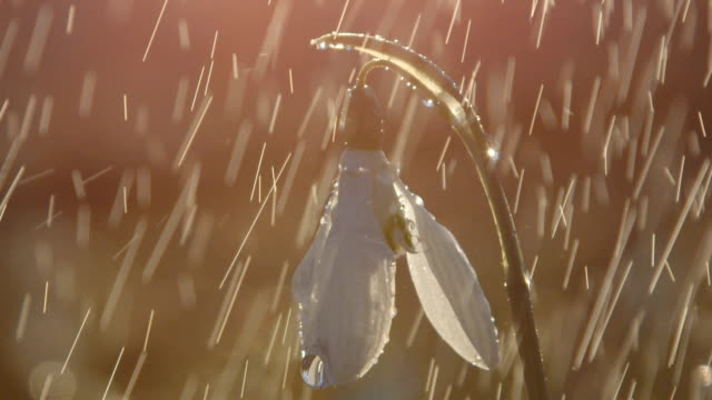 CLOSE UP: Detail of snowdrop flower during the spring rainstorm after the sunset video