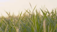 DS Dew covering green wheat stems video