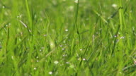 Dew drop on young green paddy grass video
