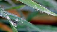 dew drops on grass macro video
