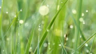 Dew drops on green grass. Shot with slider. video