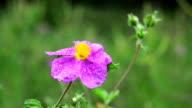 Dew on a purple wildflower video