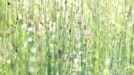 Dew on horsetail video