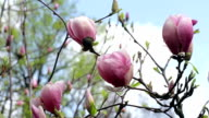 dew on the pink magnolia video