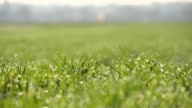 HD DOLLY: Dew On Wheat Grass video
