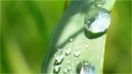 Dewdrop on a Blade of Grass Close-up Green video