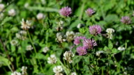 dewy clover plants video