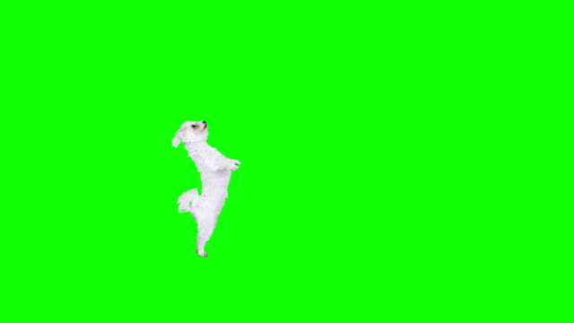 Different frame crossings of a white cute dog. video
