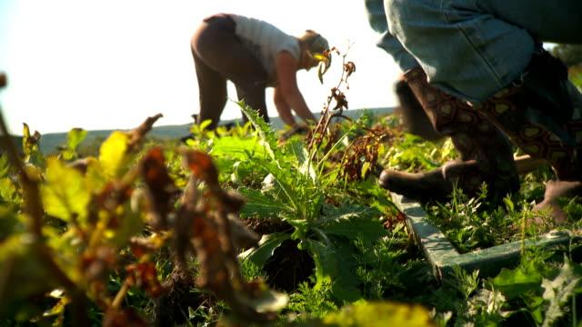 Digging Potatoes video