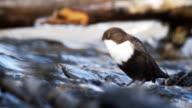 Dipper - bird video