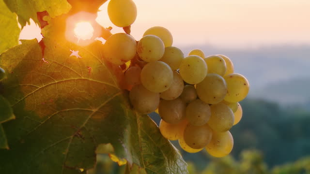 HD DOLLY: Direct Sunlight Over White Grapes video