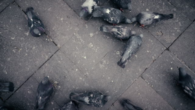 Directly above view of pigeons in Arequipa Peru video