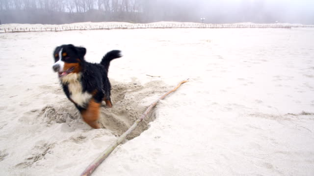 Dirty wet Belgian Mountain Dog digging the hole in the sand on the Baltic sea's beach video
